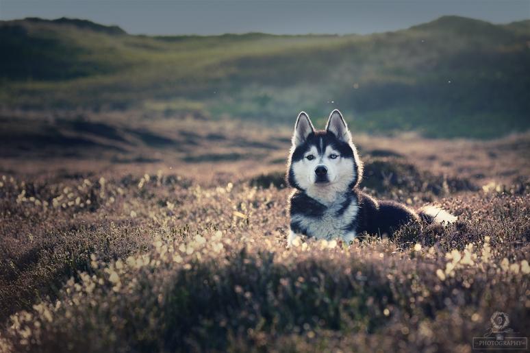 Husky in der Heide